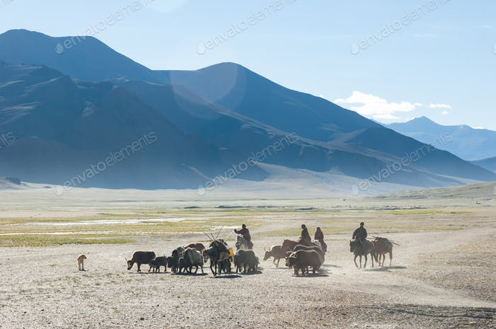 Tibetan nomads travelling with hourses and yaks. Ladakh highland