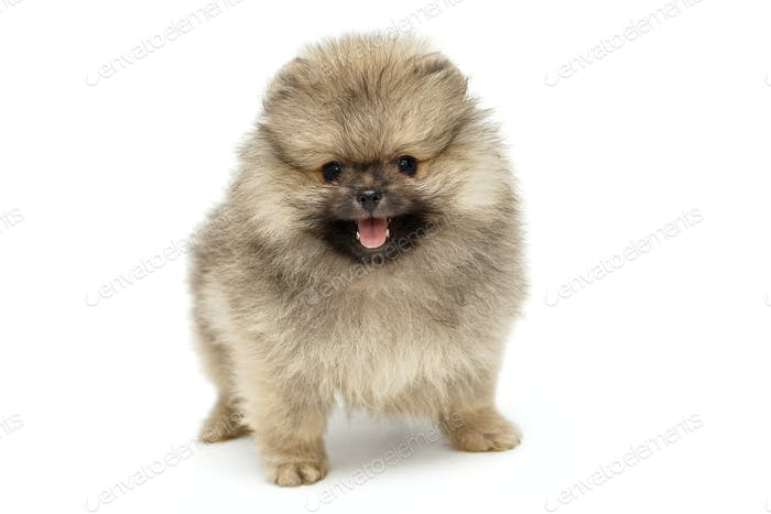 Little puppy Pomeranian Spitz