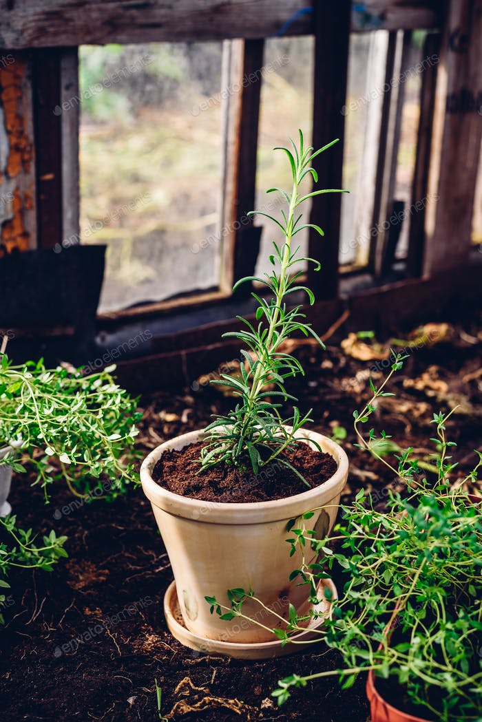 Repotted Rosemary in Backyard Garden