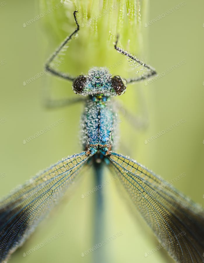 Damselfly covered with dew drops