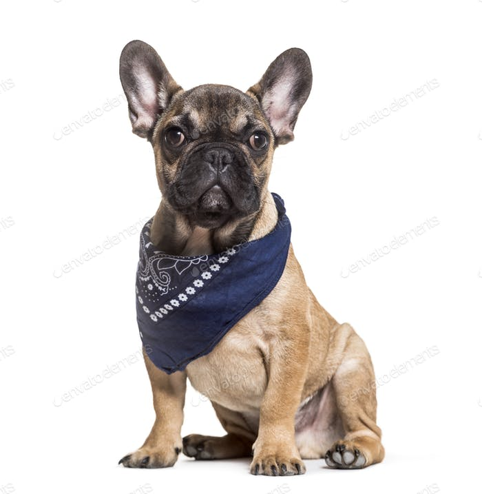 French Bulldog, 6 months old, sitting against white background
