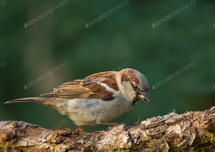 House sparrow (Passer sitting on the t domesticus)