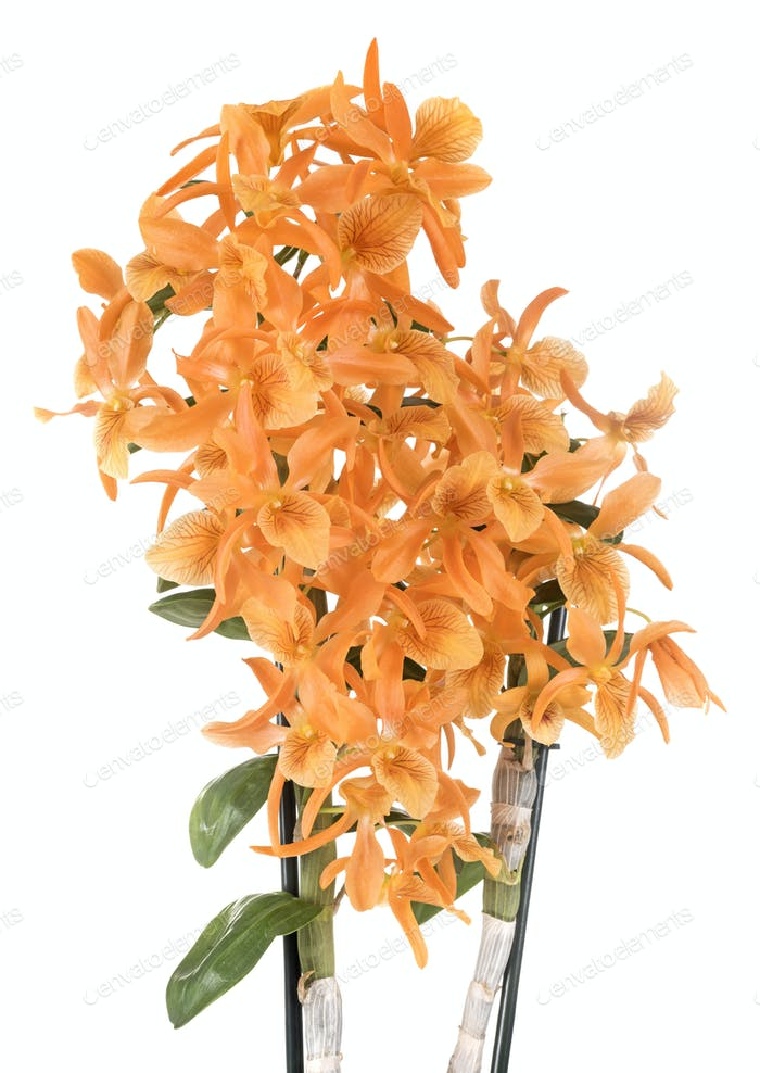 orange Dendrobium in studio