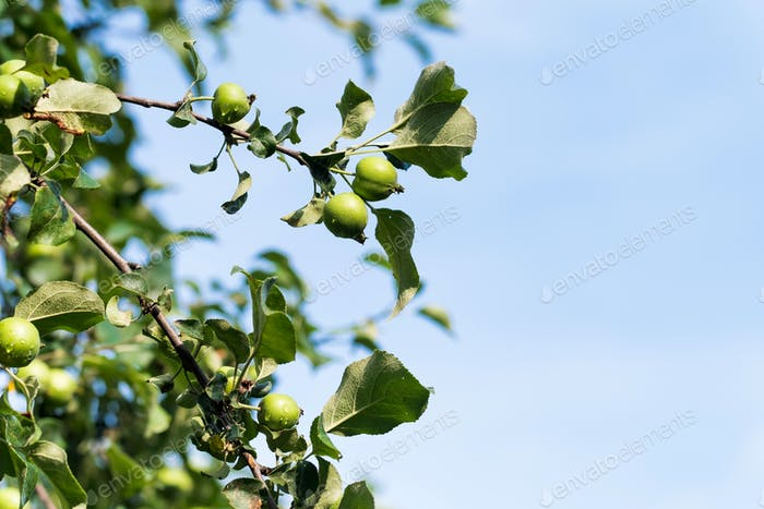 A green apple on an apple tree branch against a blue sky background. Copy space.