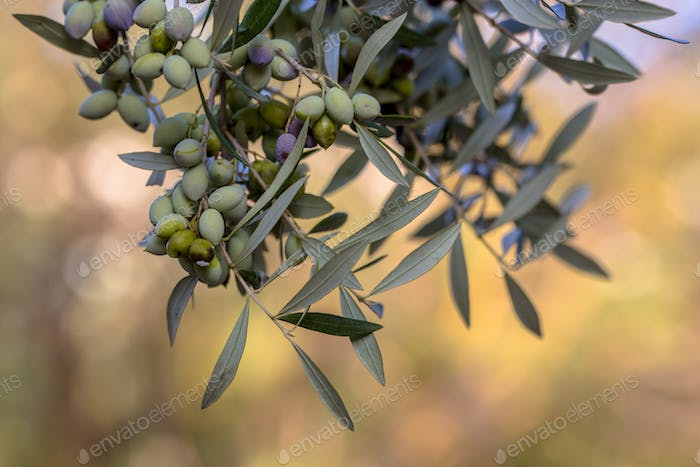 Black olives on branch of olive tree