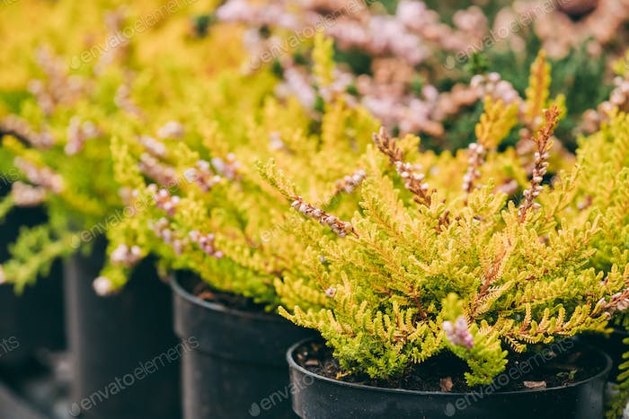 Bush Of Calluna Plant In Pot In Store Market