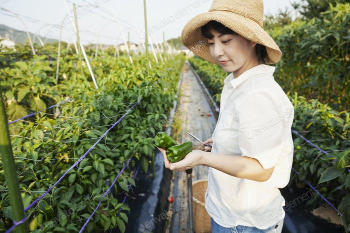 Japanische Frau trägt Hut stehend im Gemüsefeld, pflücken frische Paprika.