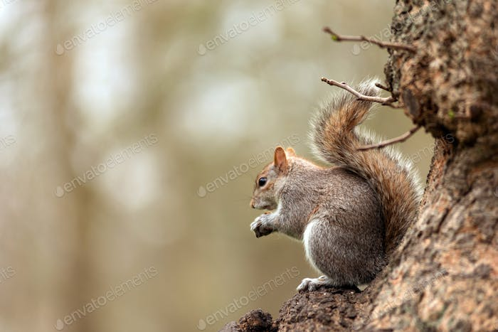 Grey squirrel eating nuts in the park