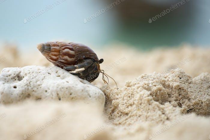 Einsiedlerkrabbe (Pagurus bernhardus) mit seiner Schale