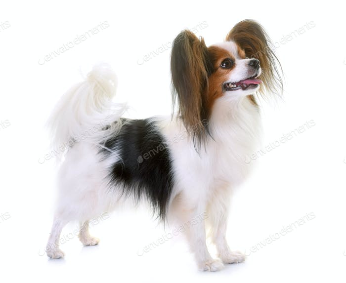 young papillon dog