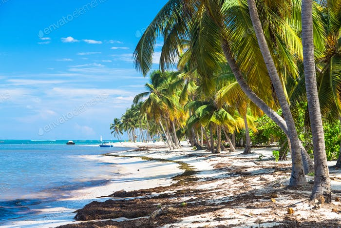 Many coconut palms on the wild carribean beach, Atlantic ocean, Dominican Republic