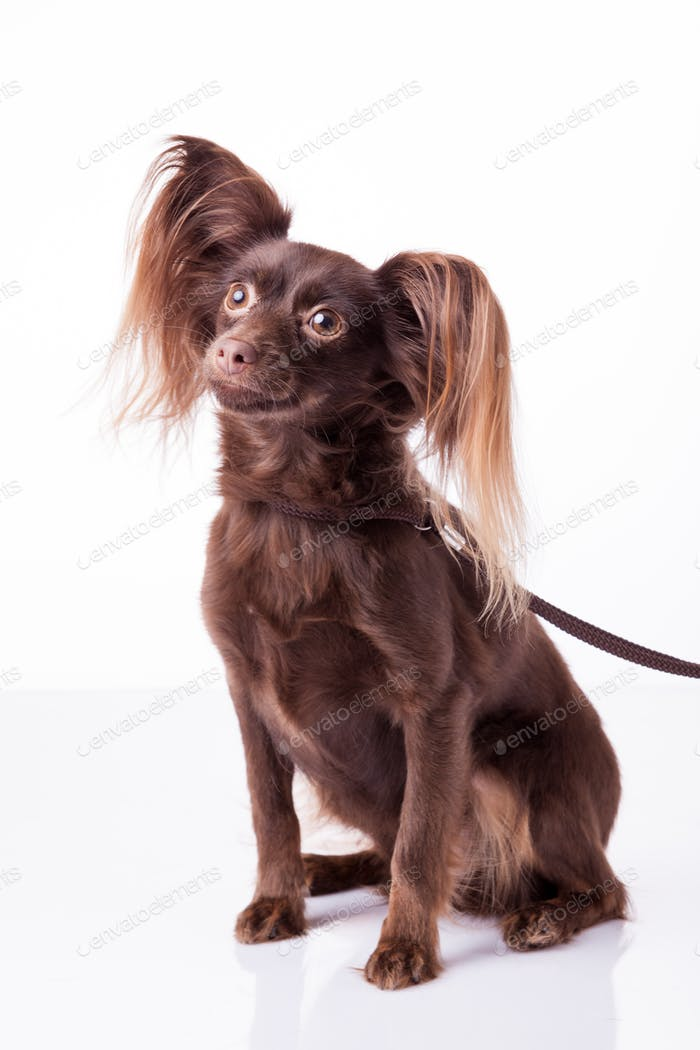 cute Russian toy terrier  on a white background