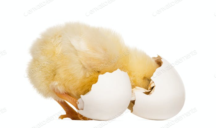 Chick (8 days old) looking into its eggshell
