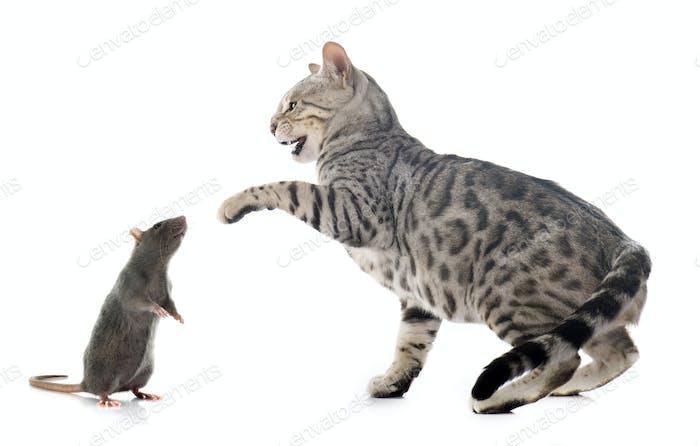 bengal cat hunting rat