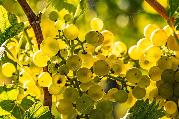 White grapes on grapevine closeup. Summer at vineyards