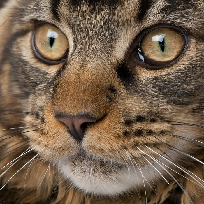 Close-up of Maine Coon's face with whiskers, 7 months old