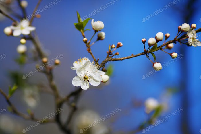 white flowers of cherry tree blooming on branch against blue sky