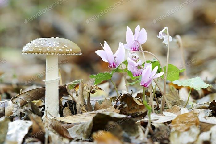 Panther cap mushroom, Amanita pantherina, with wild Cyclamen flowers.