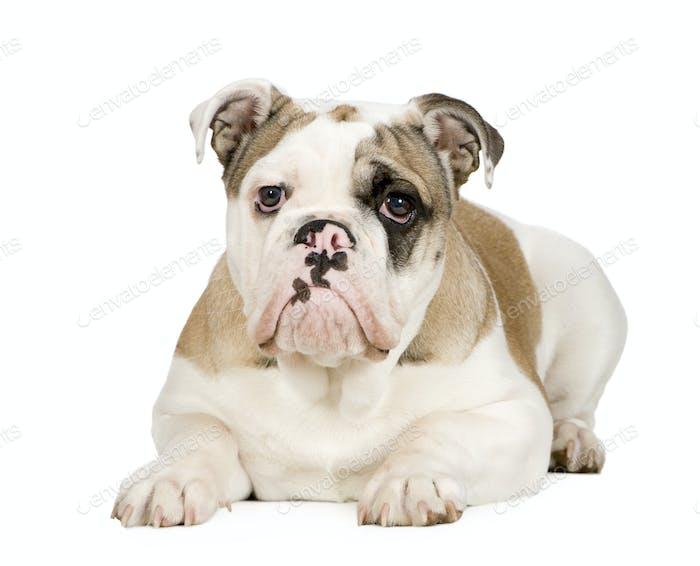 english Bulldog (5 months)