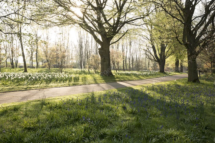 Footpath through an orchard in spring with an abundance of narcissus growing among trees.
