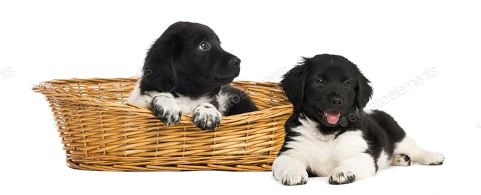Two Stabyhoun puppies in a wicker basket