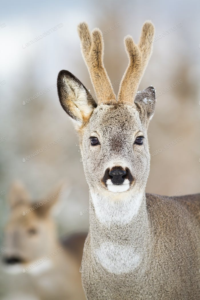 Detail of roe deer, capreolus capreolus, buck in winter