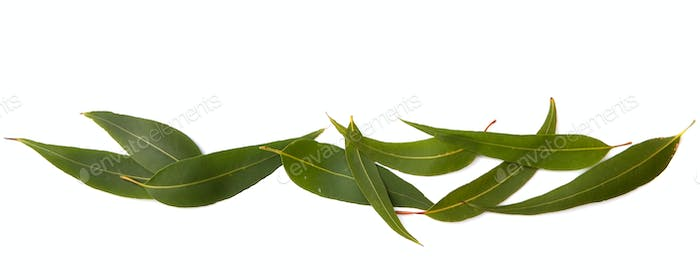 Gum Leaves Border