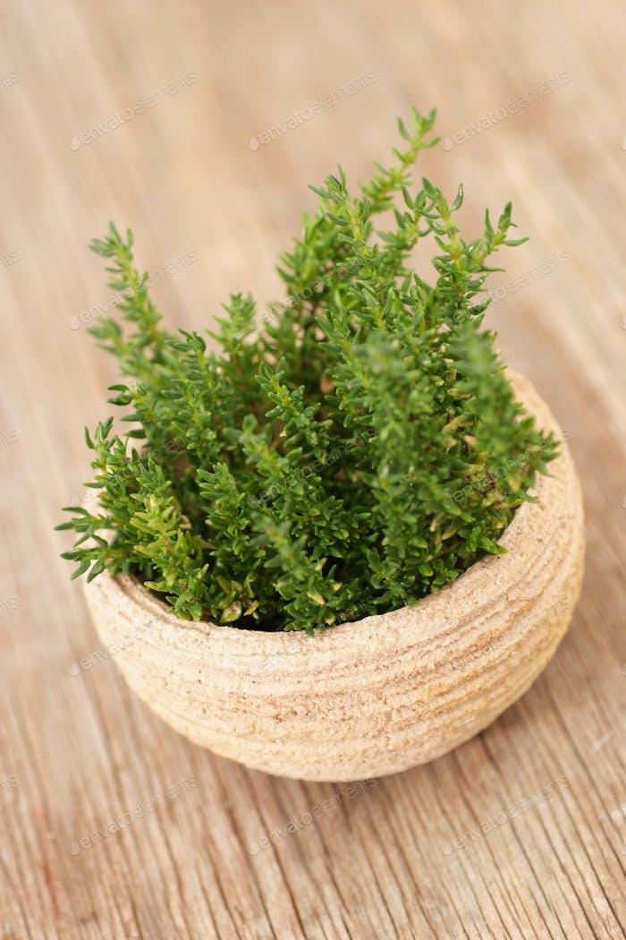 Fresh green Thyme in a pot