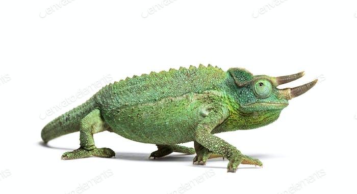 Jackson's horned chameleon walking, Trioceros jacksonii