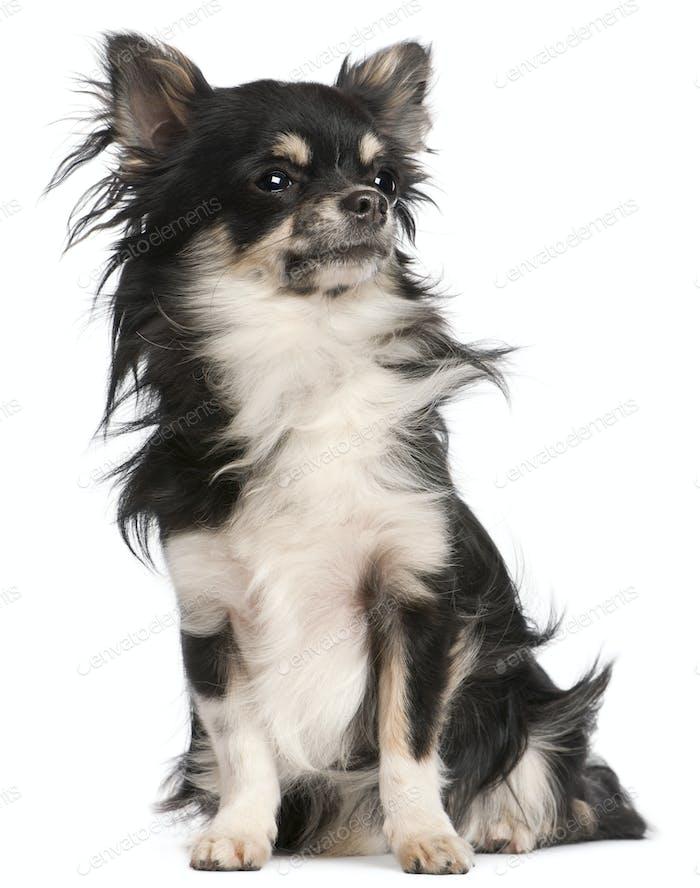Chihuahua, 5 years old, sitting in front of white background