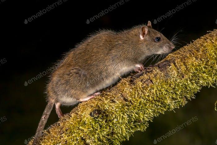 Wild Brown Ratte bei Nacht