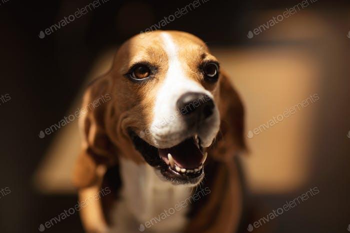 portrait of cute furry beagle dog looking away