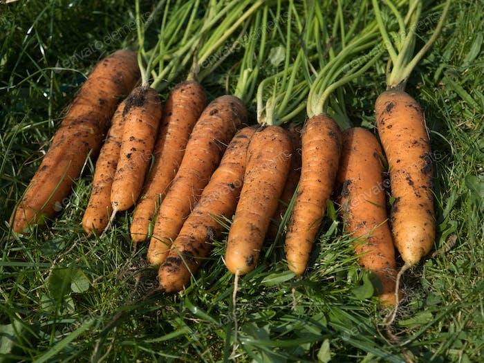 Frisch gepflückte Karotte