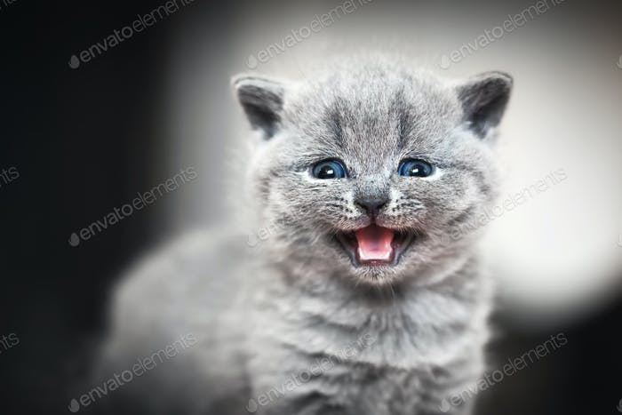 Cute kitten meows. British Shorthair cat