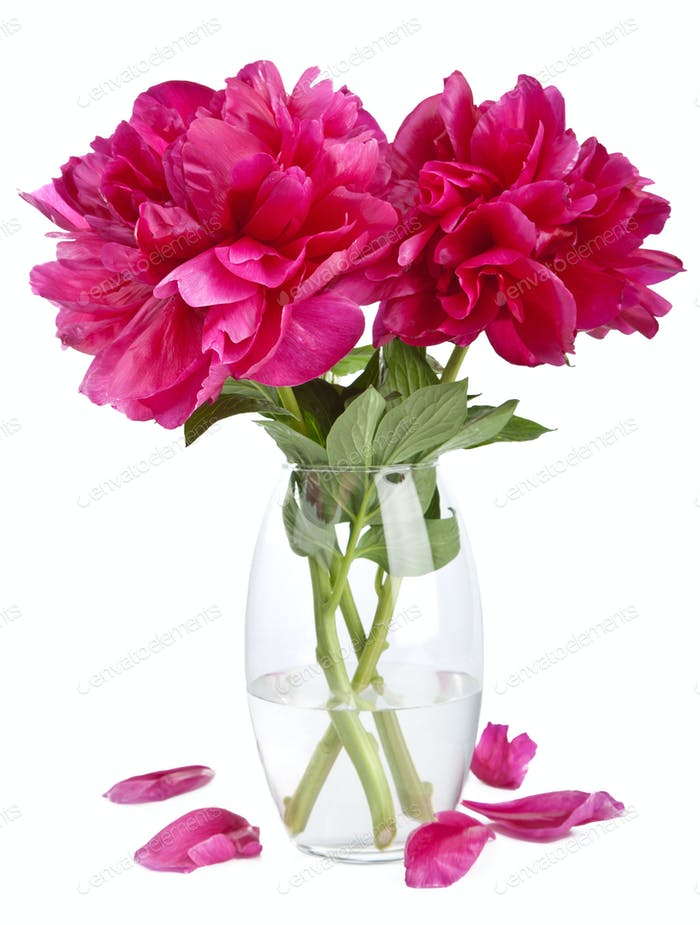peony flowers in vase isolated