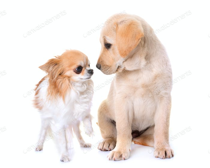 puppy labrador retriever and chihuahua