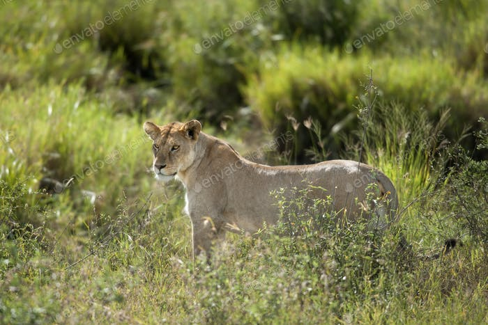 Lioness in Serengeti National Park, Tanzania, Africa