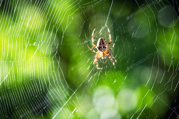 Spider on spider web on blurred green trees background