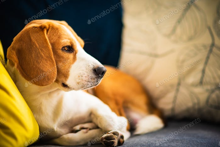Beagle dog tired lzing down on a cozy couch. Adorable canine background