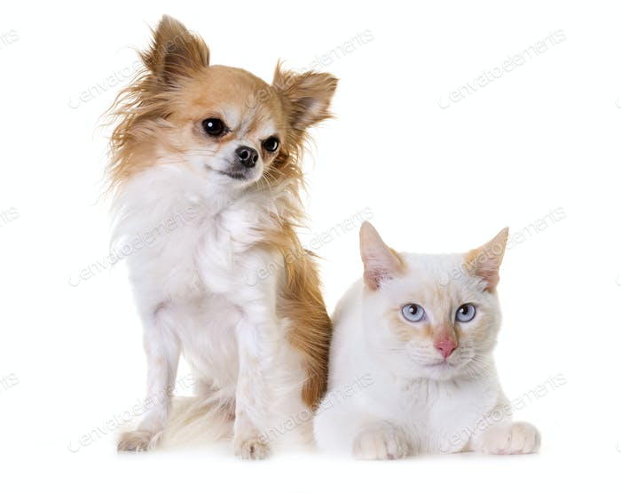 white kitten and chihuahua