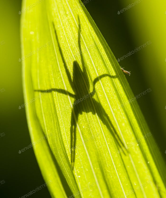 Spider shadow on green leaf in sun