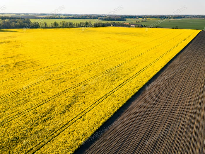 Drone view above yellow colza rape fields, agriculture concept from drone perspective