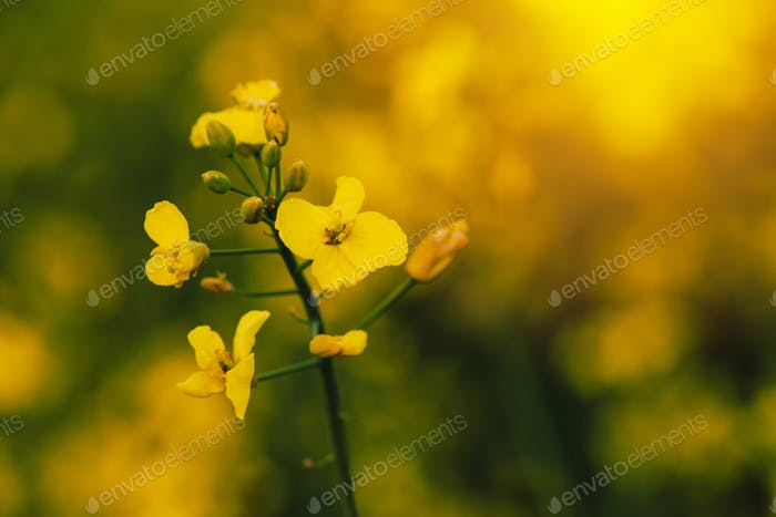 Rapeseed canola flower