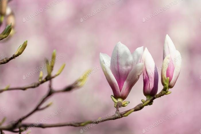 Spring blossom tree in spring