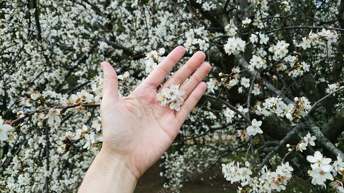 Hand on blossoming cherry background