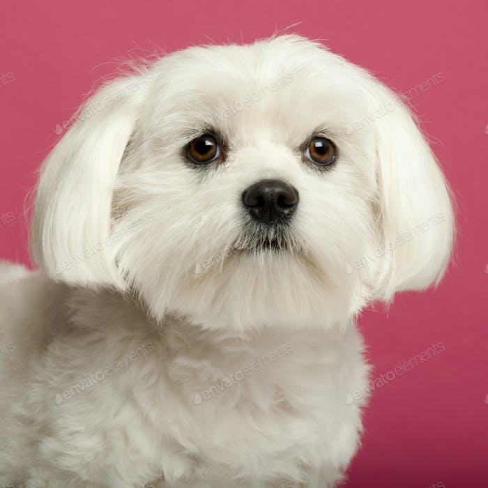 Close-up of Maltese, 2 years old, in front of pink background