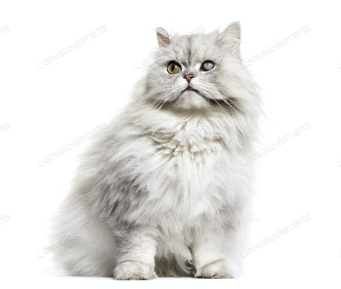 one-eyed blind persian cat, isolated on white