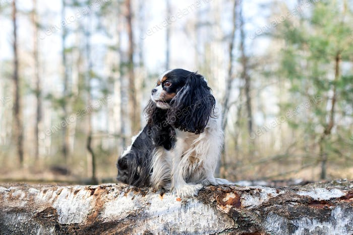Cavalier spaniel sitting on the wooden log