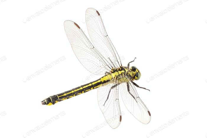 Clubtail común (Gomphus vulgatissimus) sobre Fondo blanco