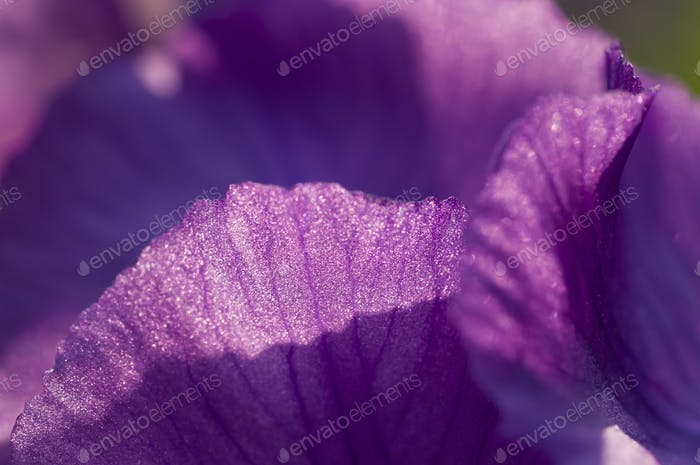 Close up of purple  iris flower